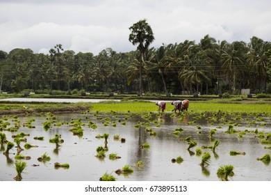 Paddy fields in Palakkad, Kerala, India