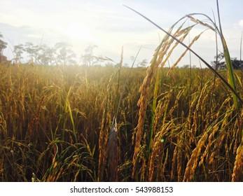 Paddy fields rice jasmine