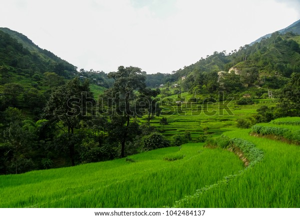 paddy fields of a rice in a valley