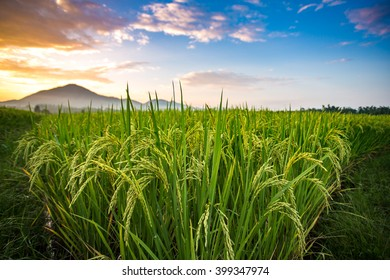 The paddy fields sunset at Phrao, Chiang Mai, Thailand.