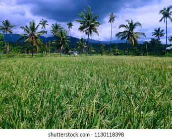 Paddy Grains Scenery In The Rice Field At Banjar Kuwum, Ringdikit, North Bali