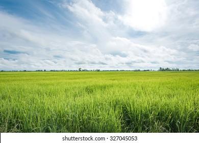 Paddy jasmine rice farm in Thailand