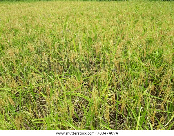 Paddy, Kaamatan, Rice