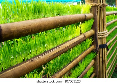 Paddy plant in bamboo decoration