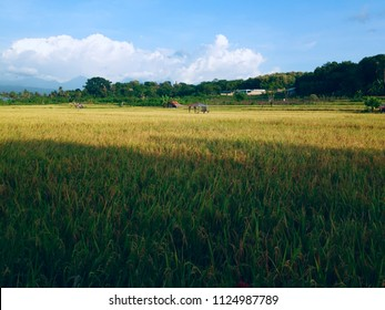 Paddy Plants Looks Yellowing of the Umeanyar Rice Fields Scenery North Bali