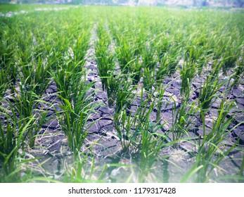 Paddy Plants And Rice Fields Lack Of Water At Banjar Kuwum Farmlands, Ringdikit Village, North Bali, Indonesia