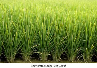 paddy  rice farm,green background.