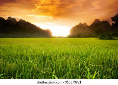 Paddy rice field background and sunrise