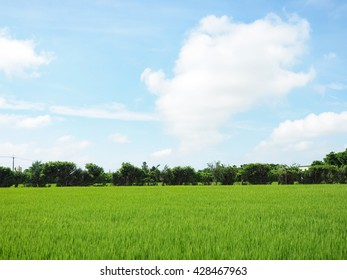 Paddy rice field with blue sky