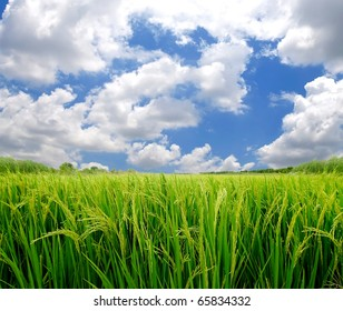 paddy rice field in blue sky