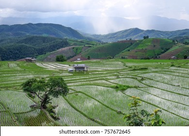 paddy rice field in Chiengmai, Thailand