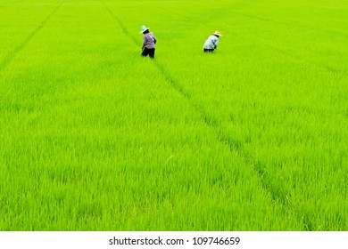paddy rice in field and farmers