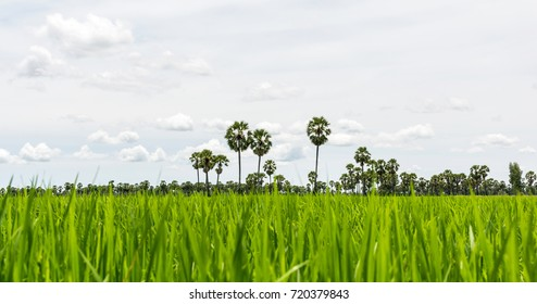 Paddy rice field green grass on beautiful blue sky background