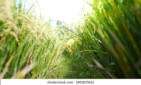Paddy rice field in the sun rise, close up. golden color. sticky rice in Thailand farm. Ready to havest. organic rice. The Helthy rice
