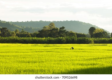 Paddy rice field in Thailand country.