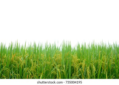 Paddy rice field with water drops on white background.