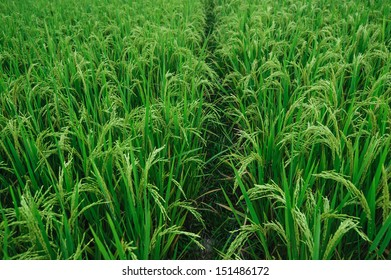 Paddy Rice Fields, China