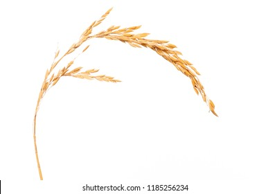 Paddy rice isolated on white background. ears of paddy jasmine rice with copy space