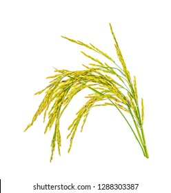 Paddy rice isolated on white background