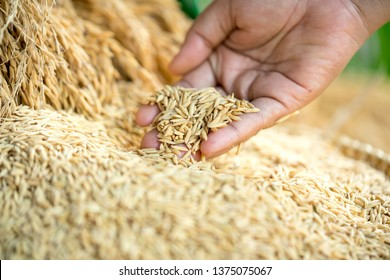 Paddy rice,Rice farmers,Paddy in harvest,The golden yellow paddy in hand