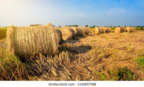 The paddy straws are made into rolls and recycled for various usage as side product of paddy industrial. Shooting during sunset
