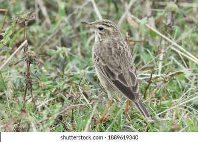 The Paddyfield Pipit (Anthus rufulus) is a small passerine bird in the pipit and wagtail family. recorded in Malaysia