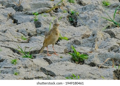 Paddyfield Pipit isolated in habitat