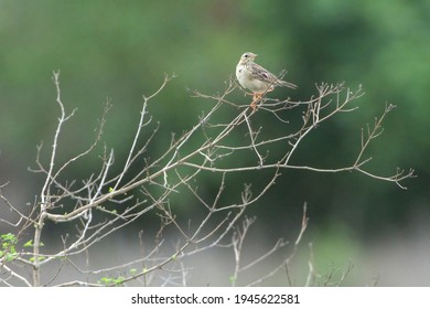 The paddyfield pipit or Oriental pipit is a small passerine bird in the pipit and wagtail family.