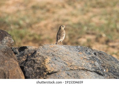 Paddyfield Pipit standing on a rock