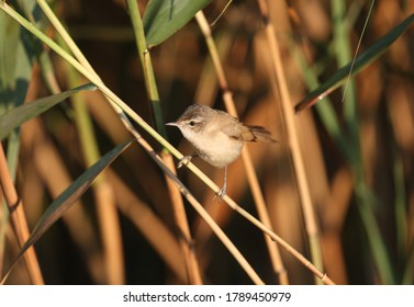 The paddyfield warbler (Acrocephalus agricola) is photographed very close up against an unusual background. Soft morning light accentuates the details of the bird's plumage and habit