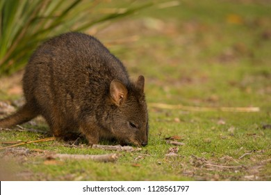 Paddymelon eating grass