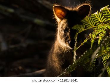 Paddymelon portrait in contrasty lighting