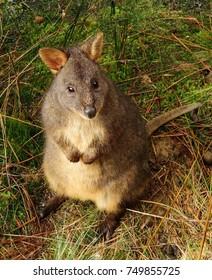 pademelon grazing in cradle mountain national park, tasmania, australia
