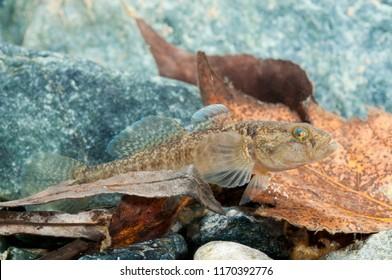 Padogobius martensii (gobiidae)