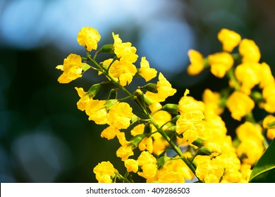 The Paduak, Pterocarpus Indicus, blossoms in tiny fragrant yellow-gold, Nation flowers of Myanmar