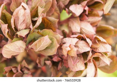 Paeonia daurica green and brown foliage soft focus