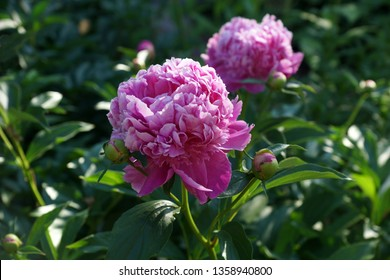 Paeonia Monsieur Jules Elie.  Double pink peony flower. Paeonia lactiflora (Chinese peony or common garden peony) is a species of herbaceous perennial flowering plant in the family Paeoniaceae.