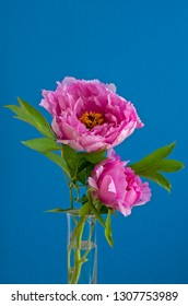 Paeonia officinalis, common garden pink peony on a blue background.