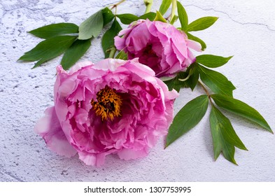 Paeonia officinalis, Common Peony, lying on a white plaster effect background.