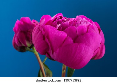 Paeonia officinalis with a painted blue background and vintage colour filter.