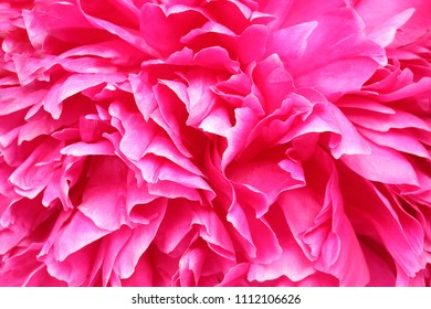 Paeonia pink petal background is a showy perennial blooming in May and June.  Some plants produce a subtle nectar that attracts ants, so watch out for them if you are cutting for indoor enjoyment
