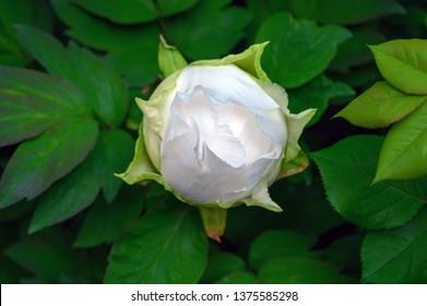 Paeonia suffruticosa Godaishu in bud (white tree peony)