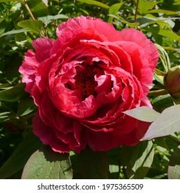 Paeonia suffruticosa Yoyono homare Red flowering Peony - Shutterstock ID 1975365509
