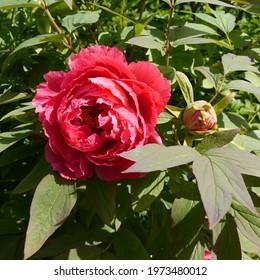 Paeonia x suffruticosa Yoyono homare Red flowering Peony - Shutterstock ID 1973480012
