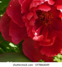 Paeonia x suffruticosa Yoyono homare flowering Peony - Shutterstock ID 1978864049
