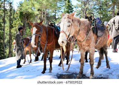 PAHALGAM, KASHMIR, INDIA : 10 APR 2017 - Horses stop at the top of Baisaran Valley, Pahalgam, Kashmir, India