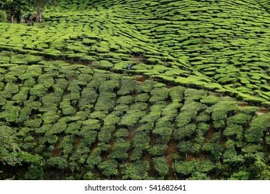 PAHANG MALAYSIA DECEMBER 2016 - Tea farm located in Malaysia. The cold area in Malaysia. Green area.