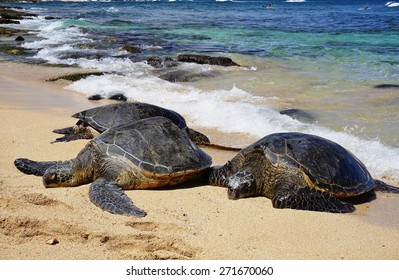 PAIA, HI -30 MARCH 2015- Hookipa Beach Park, on the North Shore of Maui, is world renowned for its windsurfing. It is also a popular nesting spot for Honu giant Hawaiian green sea turtles.