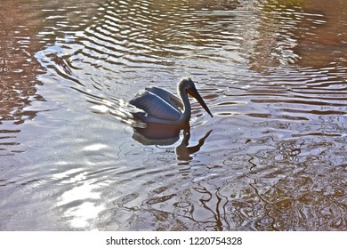 Paignton, Devon / England - 10/24/2018 :  Dalmation Pelican glides serenely across a lake in Paignton Zoo with beautiful reflections in the rippling water.