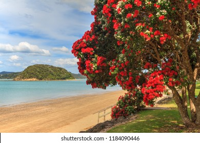 Paihia, Bay of Islands, New Zealand. The Beach in Summer, With Blooming Pohutukawa Trees